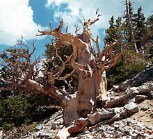 Great Basin National Park Briscone by Loisb