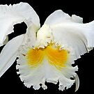 Fringed white orchid by cclaude