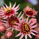 Sempervivum tectorum by karina5