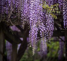Wisteria Waterfall by mikereid