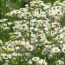 Ditch Daisies by lorilee