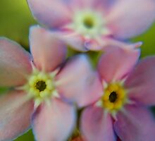 Pretty pink forget-me-nots by missmoneypenny