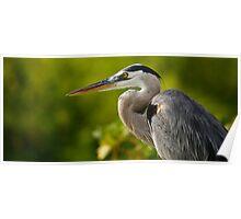 Great Blue Galapagos Heron - Hunting Poster