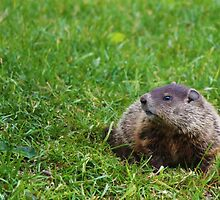 Groundhog by Jeanette Muhr
