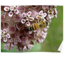 The Bee And The Milkweed Poster