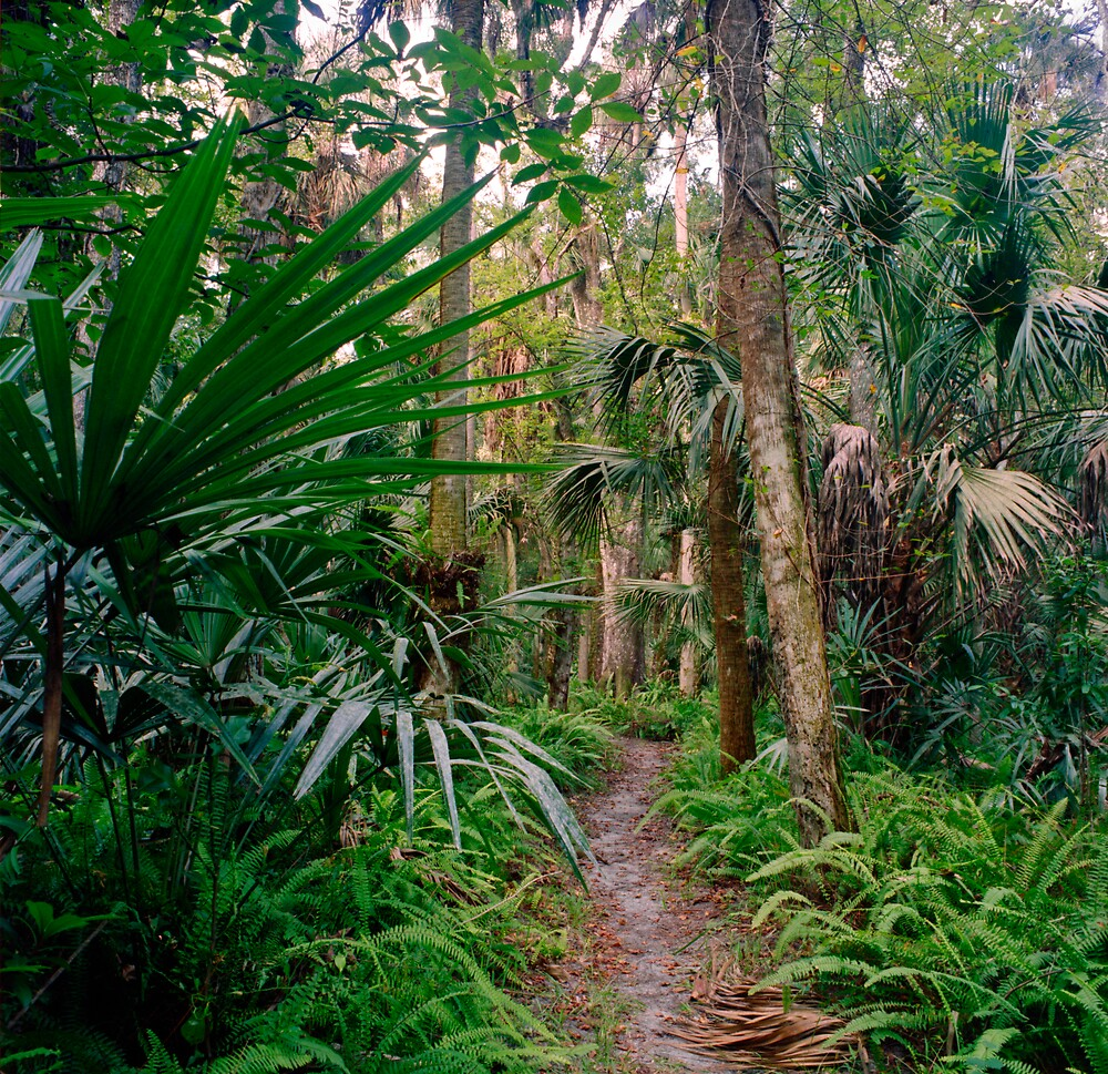 Fern Path. Highlands Hammock. by chris kusik