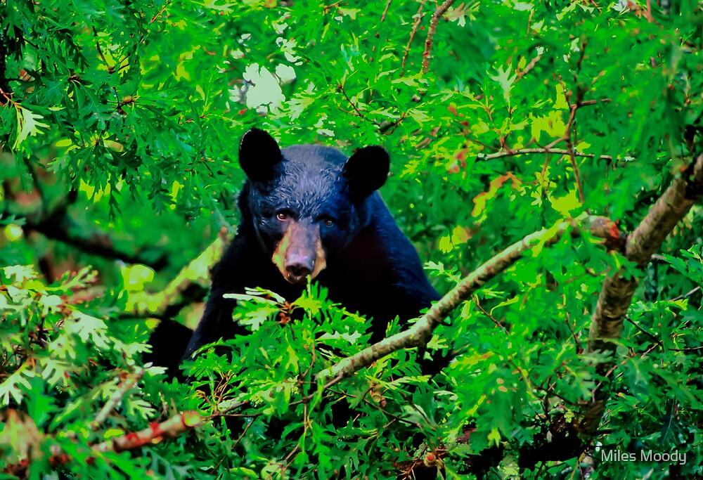 Black Bear in Oak by Miles Moody