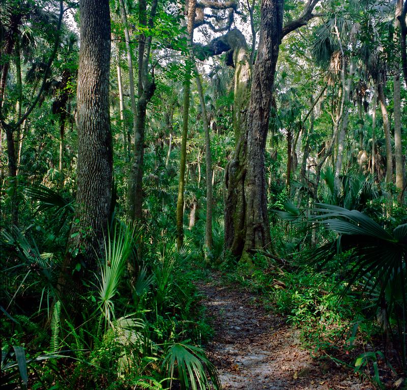 Path Through The Oaks. Highlands Hammock. by chris kusik