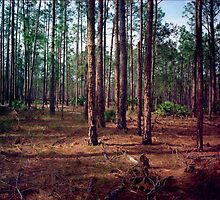 Pine Forest #1. Split Oak. by chris kusik
