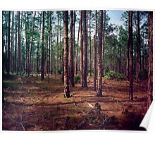Pine Forest #1. Split Oak. Poster