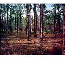 Pine Forest #1. Split Oak. Photographic Print