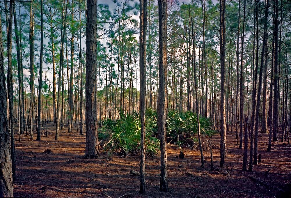 Pine Forest #2. Split Oak. by chris kusik