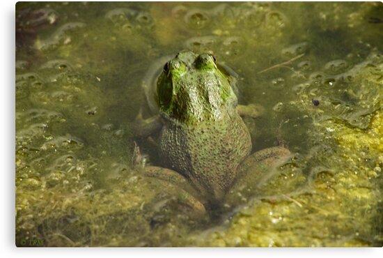 Frog May by Thomas Murphy