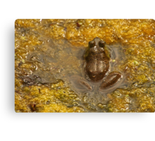 Frog July Canvas Print