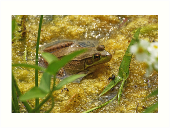 Frog August by Thomas Murphy