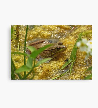 Frog August Canvas Print