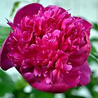 Just a Peony in the Yard by Jacob Ennis
