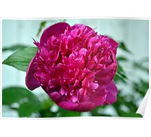 Just a Peony in the Yard Poster