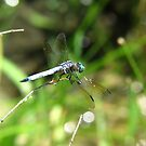 Male Eastern Pondhawk by Ron Russell