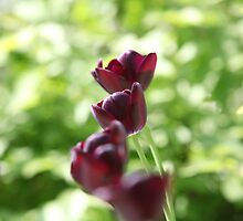 bright burgundy flowers tulips by mrivserg