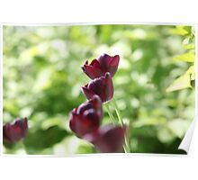 bright burgundy flowers tulips Poster
