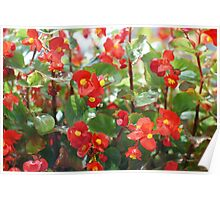 bright red flowers of begonia  Poster