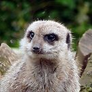 The Meerkat by Lilian Marshall