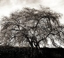 Willow Tree  by Ethna Gillespie