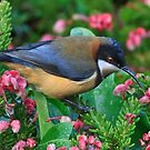 Eastern Spinebill by Bill  Robinson
