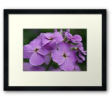 Lilac Flower Framed Print