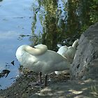 Swans in repose by srosu