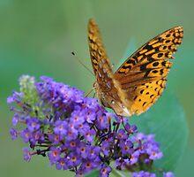 Meadow Frittillary on Butterfly Bush by mltrue