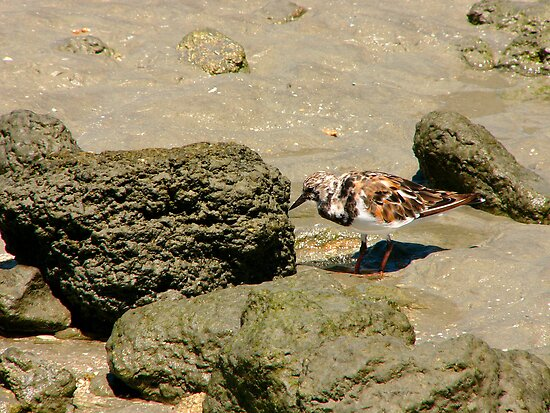 Ruddy Turnstone Portrait #1. Sebastion Inlet. by chris kusik
