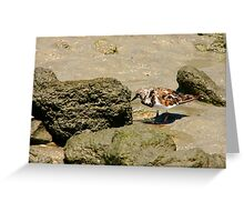 Ruddy Turnstone Portrait #1. Sebastion Inlet. Greeting Card