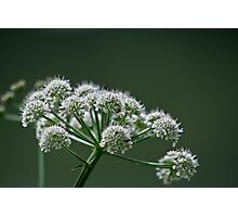 Cow Parsley.. Photographic Print