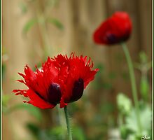 Frayed Poppy by Janone
