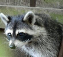 Raccoon by LunaLuxPhoto