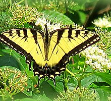 Eastern Tiger Swallowtail In Silky Dogwood Tree by Jean Gregory  Evans