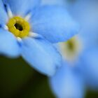 Forget-Me-Nots 9 by photonista