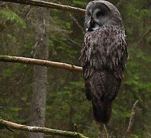 Great Grey Owl by KhrisJuhlin