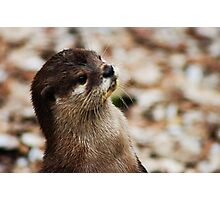 Oriental Short-clawed Otter Photographic Print