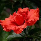 Hibiscus by Peter Bodiam