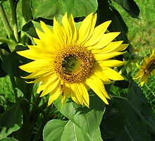 Sun flower - St Mary's Towers retreat Centre NSW by OzNatureshots