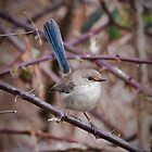 Male superb fairy wren by tarnyacox