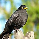 I'm An AllBlack!! - Blackbird - NZ by AndreaEL