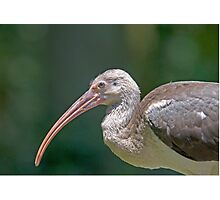 Ibis Up Close Photographic Print