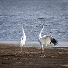 Territorial Call Of The Whooping Cranes 2015-1 by Thomas Young