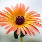 Mesembryanthemum by JEZ22
