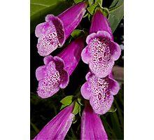 hot pink foxglove Photographic Print