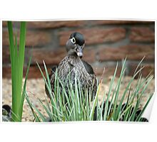 Woodduck caring for the babies Poster